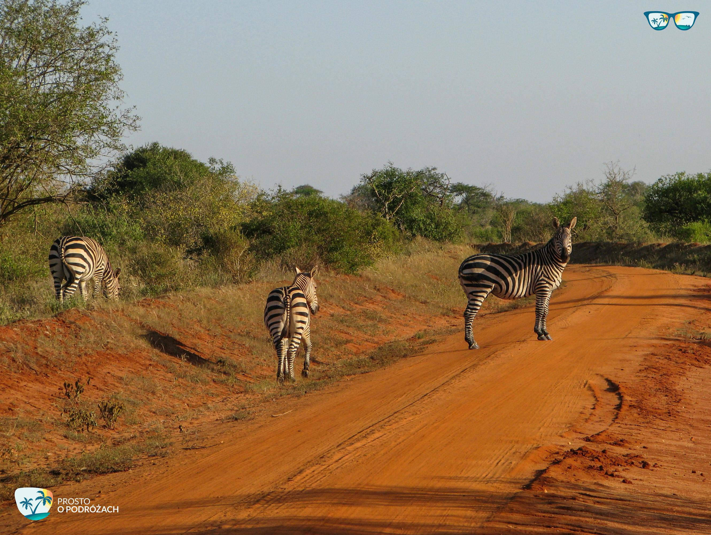 Zebry na drodze - safari w Kenii