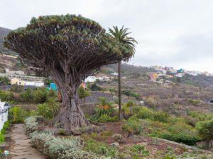 Drzewo Smocze w Icod de los Vinos