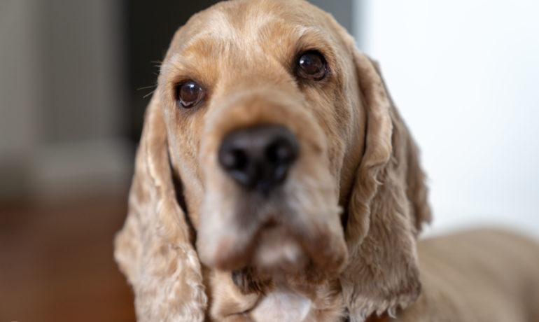 Pies Cynamon